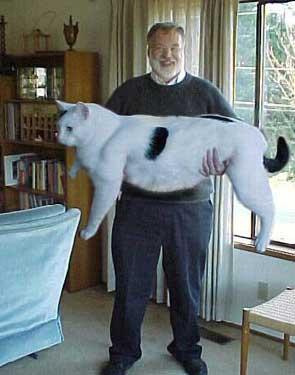"""альбом """"Британские короткошерстные кошки (фотогалерея)."""