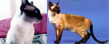 Сиамская кошка (сиам)