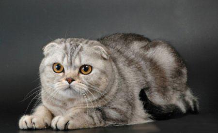 Кошки и коты породы шотландская вислоухая